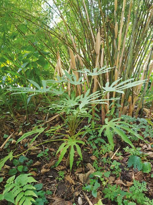 arbuste rare